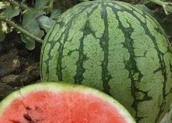 Скороспелые арбузы, семена на сайте скороспелка.рф