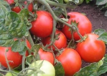 Сорта томатов для открытого грунта, скороспелка.рф