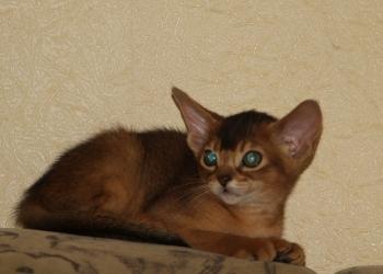 Красивые абиссинские котята