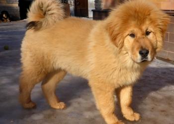 тибетский мастиф- щенки