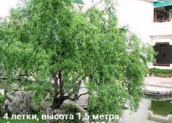 Продам сосны, дерево сумах,пионы,иву