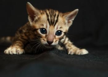 Бенгальские котята от Официального питомника Molinero