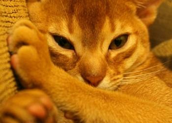 Абиссинская кошка Кесси