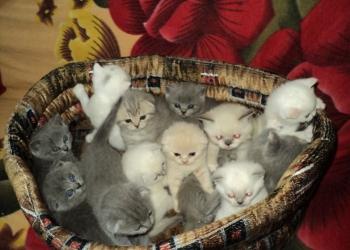 Британские котята от клуба Чистопородные