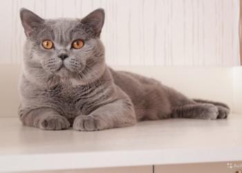 Голубые и лиловые британские котята