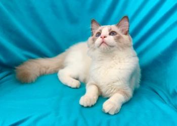 Очаровательный котёнок Регдолл