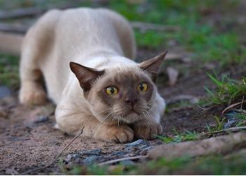 Продам Бурманскую кошку