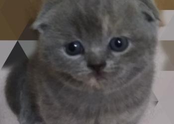 Чистокровные шотланские кошечки