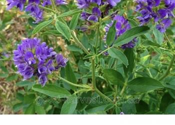 Предлагаем семена клевера люцерны, костра, тимофеевки