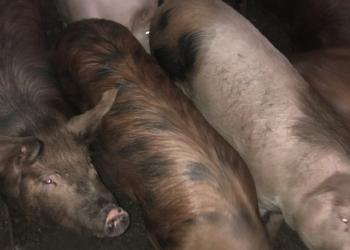 Мясо свинина домашние
