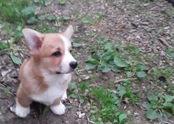 Красивые щенки вельш-корги-пемброка