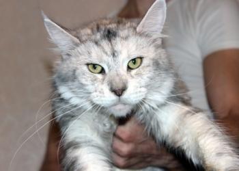 Огромная кошка Мейн Кун