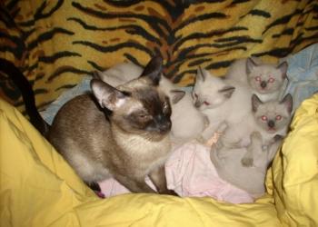 Раздаем котят Сиамской породы (чистокровные)