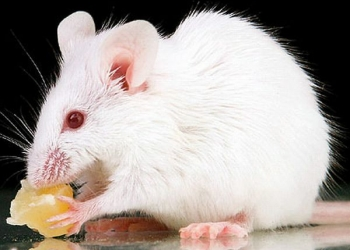 СРОЧНО!!! Отдам белых мышат в добрые руки!!!СРОЧНО!!!
