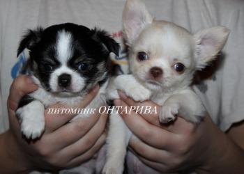 Чихуахуа щенки от выставочных родителей.