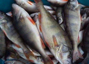 Сопа и другая рыба оптом