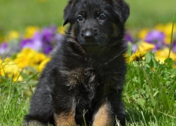 Предлагаются к продаже щенки немецкой овчарки(РКФ)