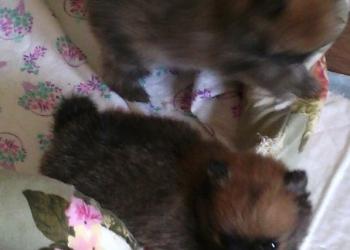 Продам щенков Померанского шпица