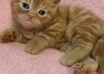 котята-шотландцы