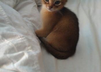 Продаю котят абиссинцев, чистокровных, дикий окрас