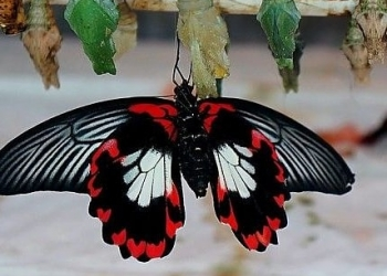 Коконы тропических бабочек для домашнего выращивания