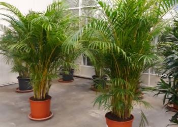 Пальма Арека 1.5м