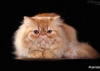 Персидский кот на продажу