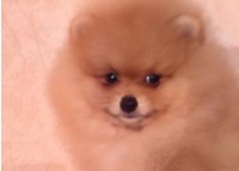 Продам клубных щенков померанского шпицу