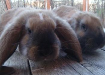 крольчата французкий баран гавана