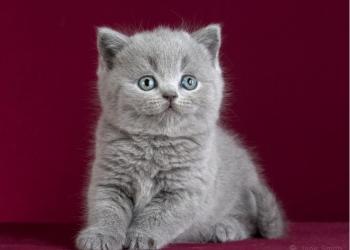 Чистопородные британские котята из питомника TinArden*RU.