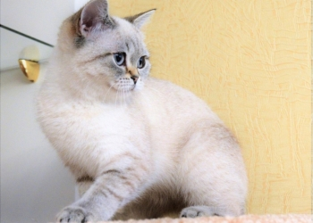 Британские котята окрас колор пойнт