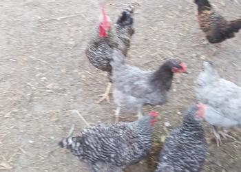 Продам яйцо куриное и утиное (ИНДИЙСКИЙ БЕГУНОК)
