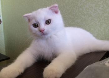 Шотландские вислоухие белые котики