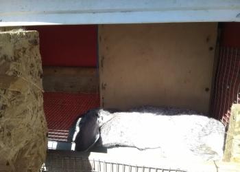 Продам  3-х взрослых кроликов(2 самки и самец)