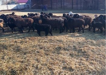 Продаю овец гиссарской породы