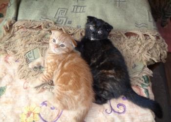 очаровательные вислоухие кошечки хотят найти заботливых добрых хозяев . недорого