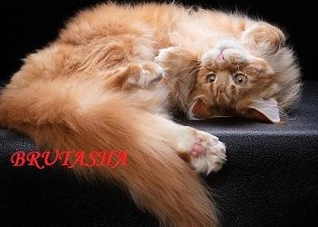 Котята-мейн кун