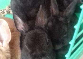 ДРУГИЕ ЖИВОТНЫЕ Декоративные кролики породы Рекс Кролики