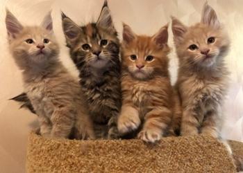 Котята мейн-кун готовы к резервированию