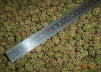 ПродамСосновую шишку свежего урожая