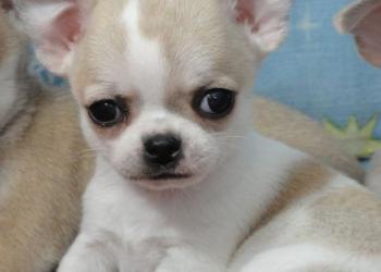 Чихуахуа гладкошерстные щенки