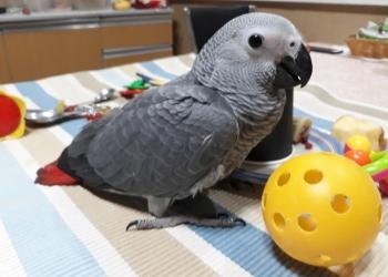 Очаровательные птенцы-выкормыши попугая жако.
