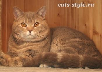 Шотландский страйт кот для  вязки
