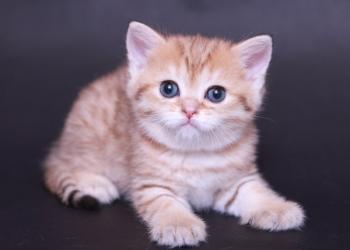 Элитные шотландские котята Superfold