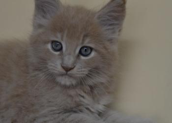 Мейн кун котята кошки -великаны из питомника в Самару