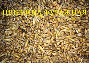 Пшеница 5 кл оптом, ГОСТ, от производителя. Объем от 20 т