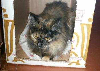Кошка, помесь с Сибирской