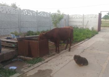 Продам корову,телку,бычка