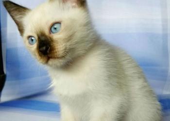 Клубные тайские котята