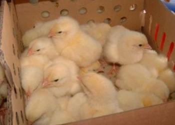 Инкубационное яйцо , Цыплята